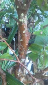ジャボチカバの蕾①b