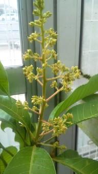 チョカナンの花B