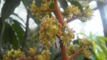 キンコーの花B
