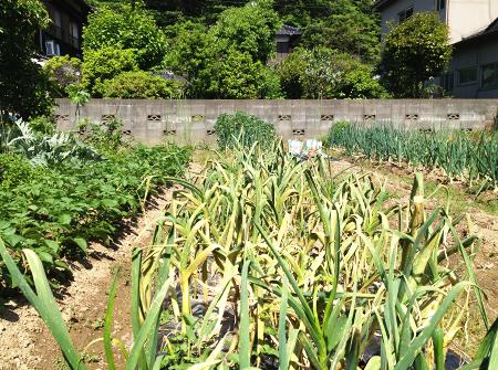 5月の菜園