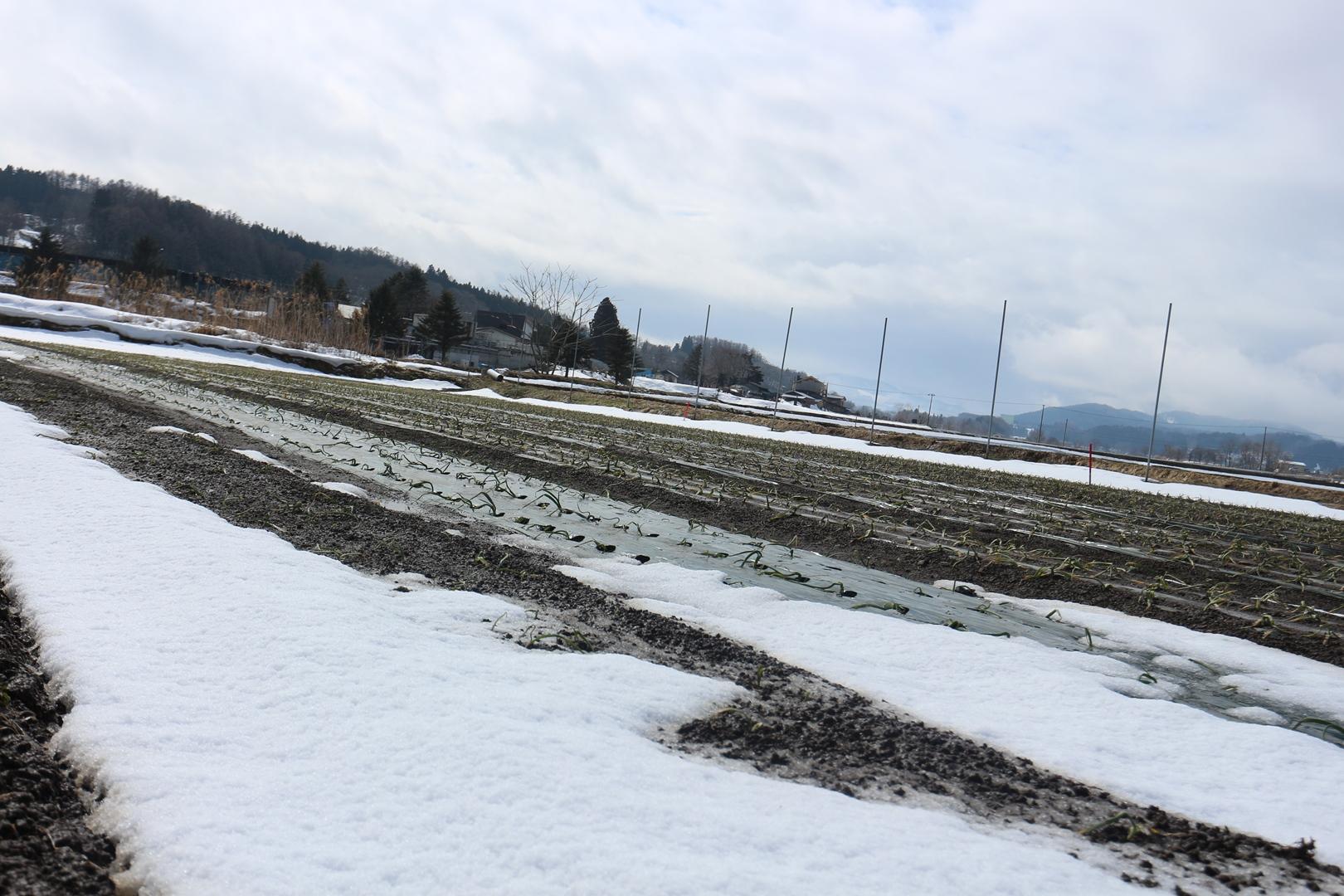 青森県田子町 にんにく畑