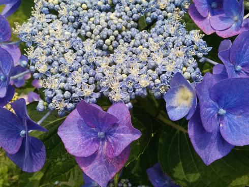 紫陽花その2