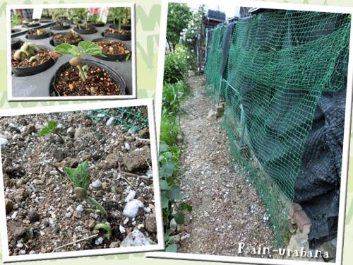 モロッコ豆を植えました (^ ^b