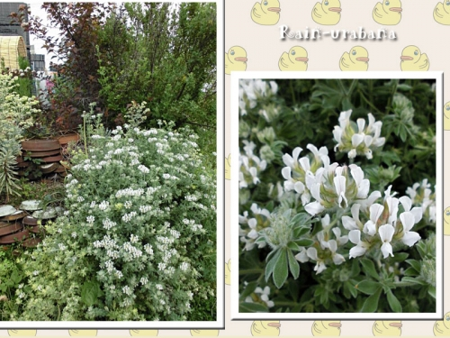ロータス・ブリムストーンが咲きました♪