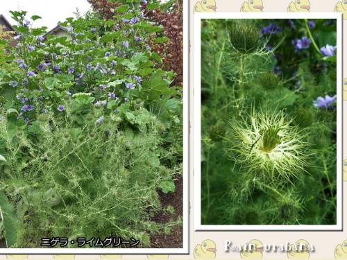 ニゲラ・ライムグリーンが咲き始めました♪