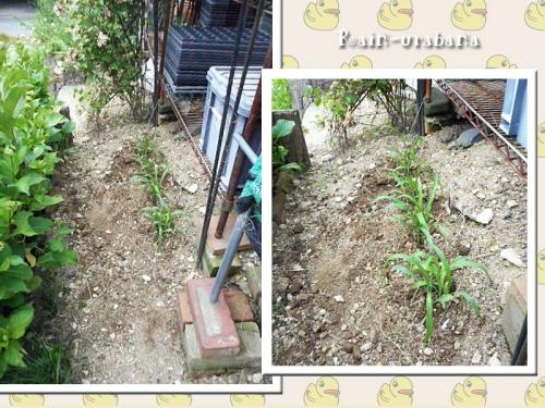 トウモコロシ植えました (⌒ ⌒)