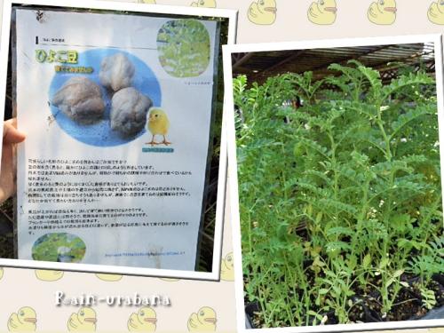 ヒヨコ豆の苗を頂きました (^ ^V