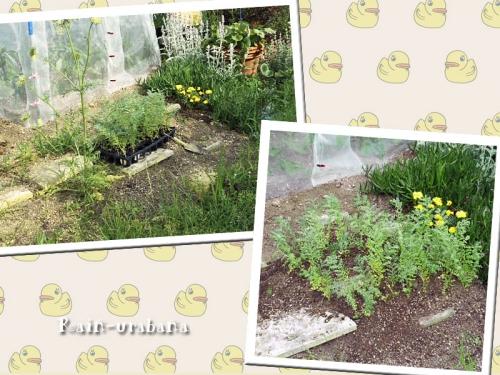 ヒヨコ豆植えました♪