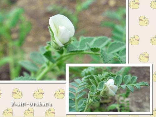 花は白くて小さくて可愛い♪