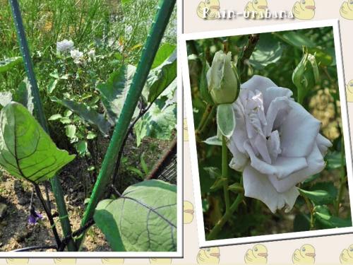 畑の主(ミニバラ・グランウンブルー)の開花♪