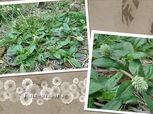 こぼれ種から今年も這性センニチコウ咲いてます♪