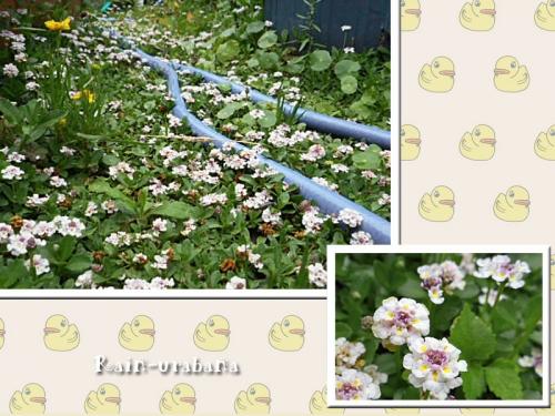 ヒメイワダレソウの花の絨毯♪