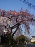 舞紋のしだれ桜