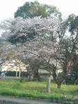 ミニストップ前の桜