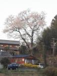 蜂屋の家より高い桜