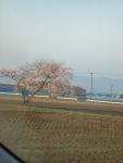 富加の田んぼの並木の桜