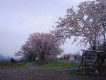 そのお寺のお墓にあるしだれ桜と桜