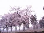 のぞみが丘したのお寺の桜