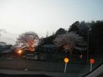 ライトアップされた神社の桜