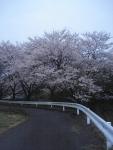 川の近くの桜