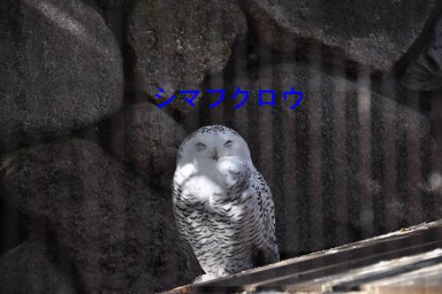 11シマフクロウ