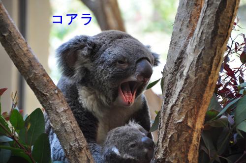 12コアラ
