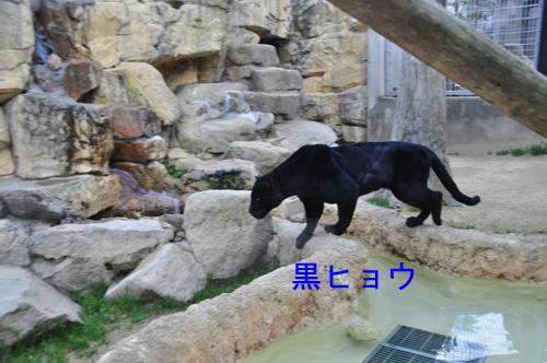 17黒ヒョウ