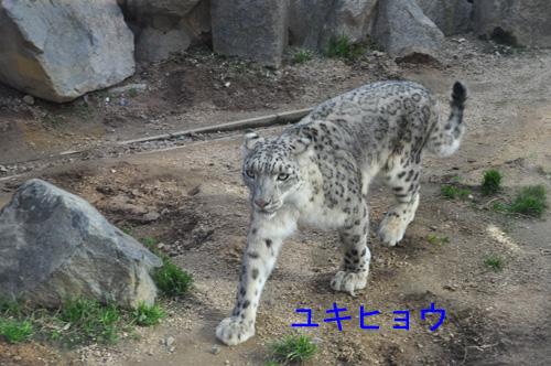 20ユキヒョウ