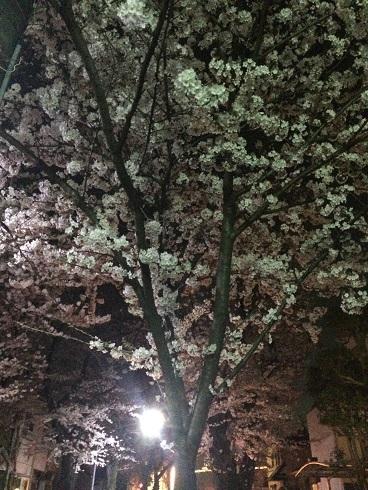150330桜並木②