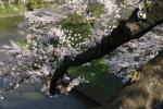 1.牛ヶ渕の桜-09D 1503q