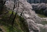 2.皇居の花見:千鳥ヶ淵-59D 1503qt