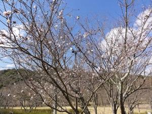 鏡山公園でアコーディオン20150322-2