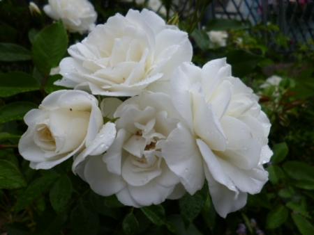 バラの庭A