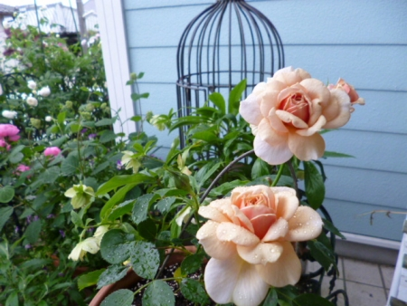 バラの庭C