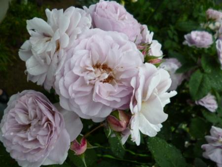 バラの庭D