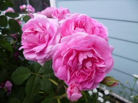 バラの庭H