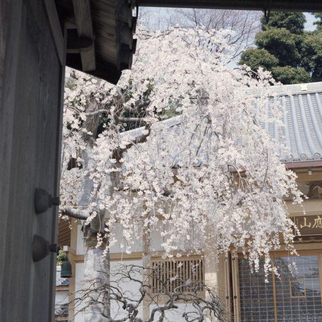 桜2015-02a