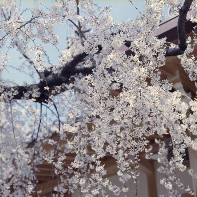 桜2015-03a