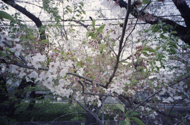 桜2015-06a