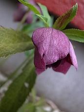 クリロー紫