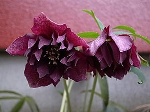 クリロー紫2