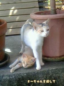 父猫よりもちょっと色が薄いサバトラ白猫の兄猫