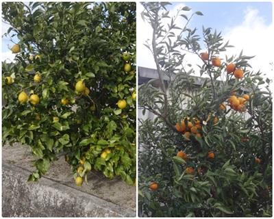 1218-レモン
