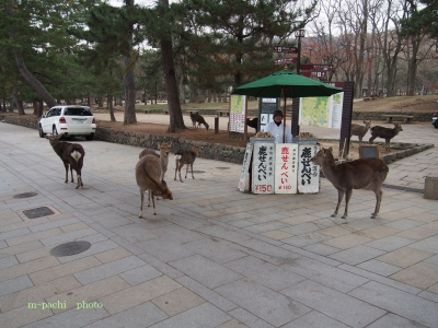 東大寺襲われない鹿せんべい