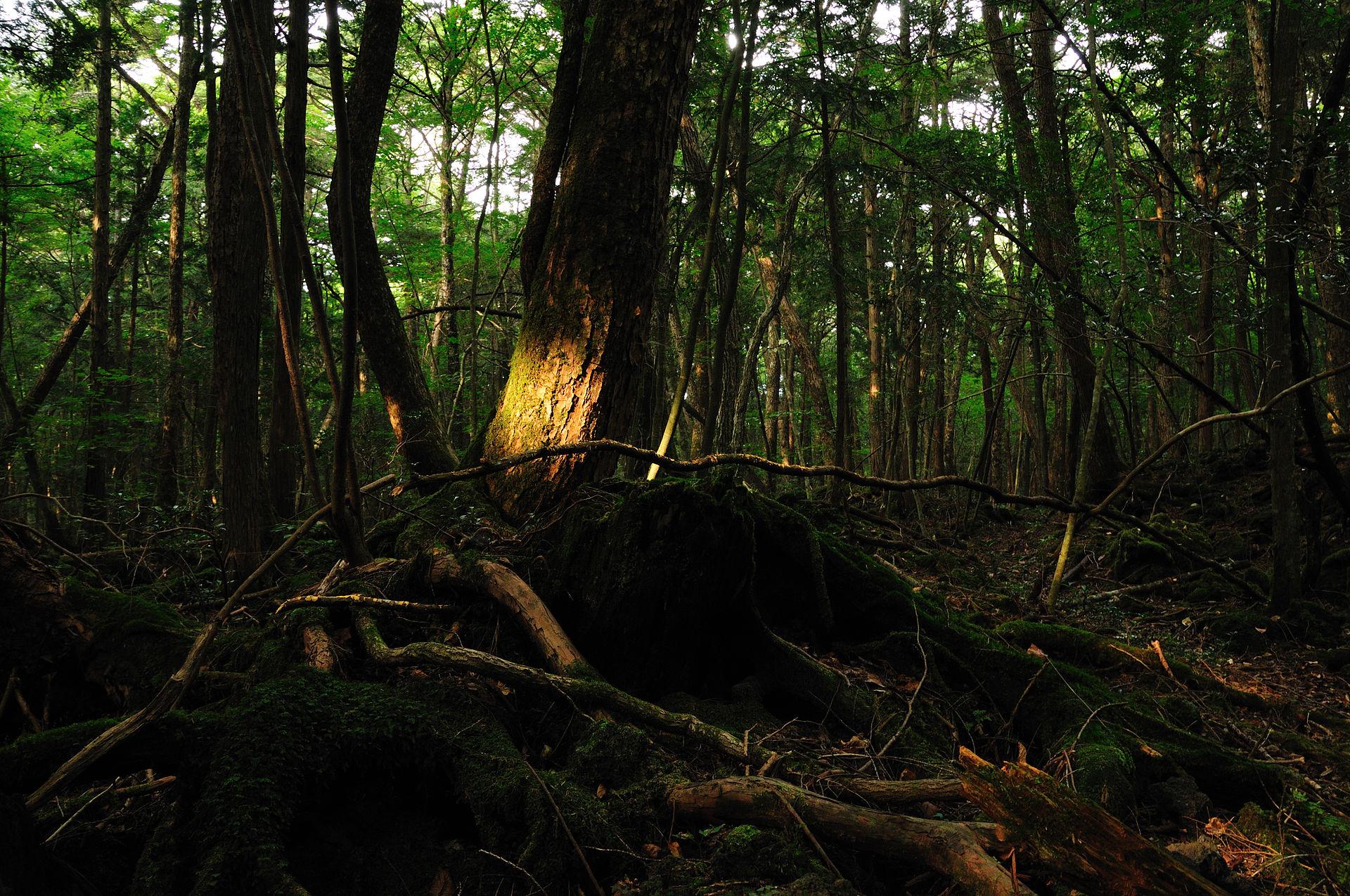 Aokigahara_forest_01.jpg
