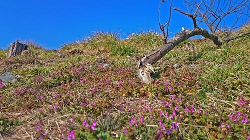 ホトケノザが咲いた土手