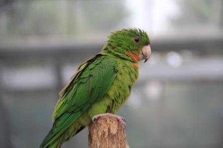 緑インコ1