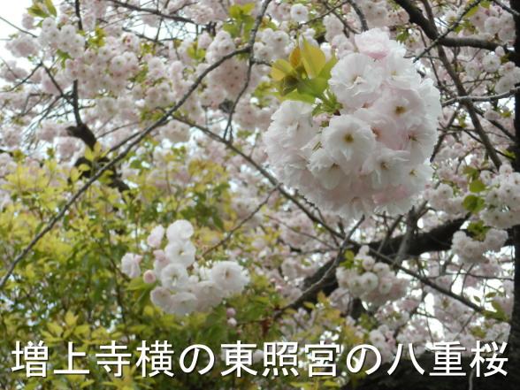 20150409 八重桜