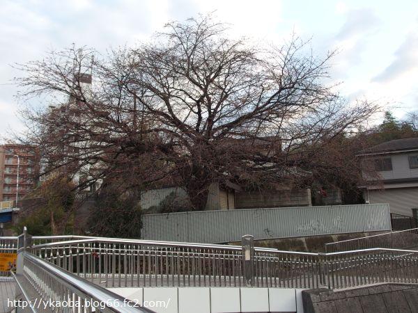 20150309edasakura3.jpg