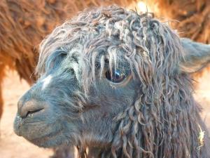 紙 髪 アルパカ 面白動物